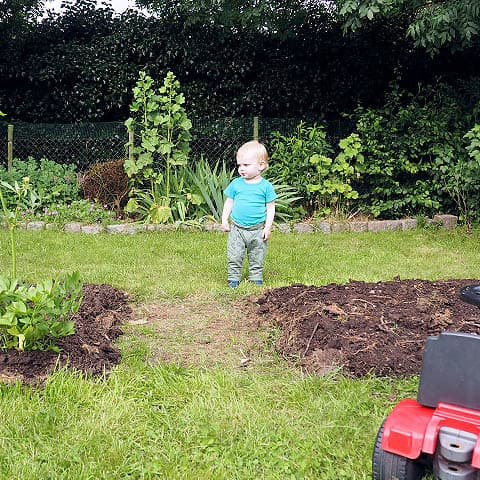 Loup wandering in backyard